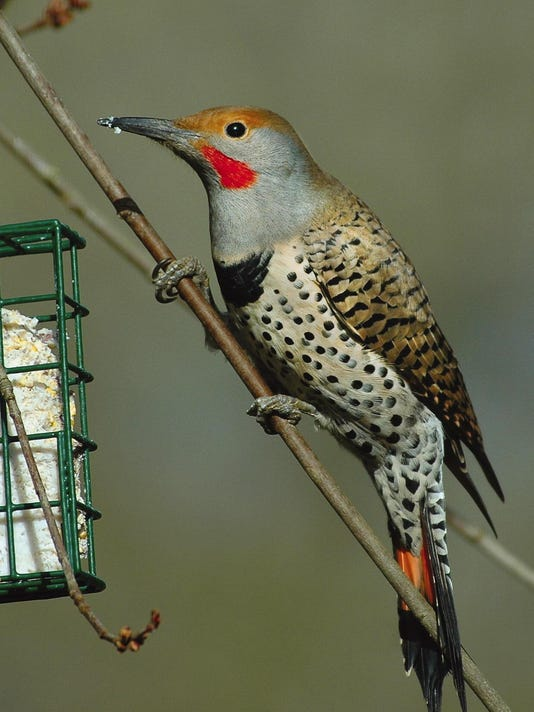 perching northern flicker