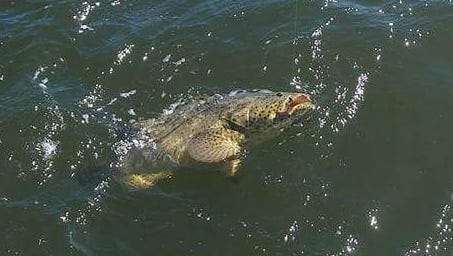A 25-pound Goliath grouper was caught and released, along with another one just like it, by anglers with Catch 22 charters with Capt. Bob Bushholz out of Four Fish Marina in Jensen Beach.
