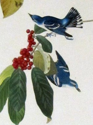 Cerulean warblers, cerulean blue like the sky, nest in East Tennessee's mountains. They winter, sometimes on coffee farms, in western South America from northern Columbia and Venezuela south to southern Peru and western Bolivia.