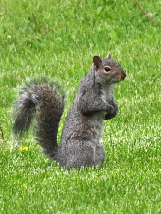 WSF 0525 Carol squirrel