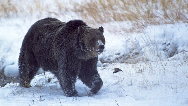 """A well-known Yellowstone National Park grizzly bear known as """"Scarface"""" lumber through the park in October 2005. Officials have confirmed that the grizzly bear was shot and killed during a confrontation with a hunter last fall."""