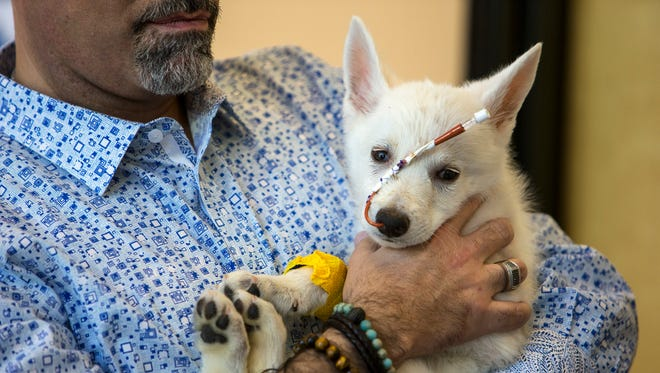 Jose Santiago holds BB Bear on Oct. 18, 2017 at Phoenix Dog/Cat/Bird Hospital in Phoenix. The puppy is recovering from blunt trauma to his skull, likely caused by a human.