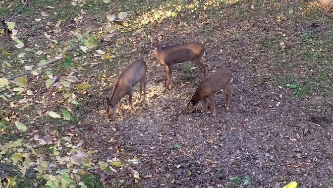 A doe and her fawns visit a bait/feed site to eat shell-corn.