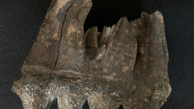This mastodon tooth is on display at the Lenawee Historical Museum in Adrian. It is the third molar of an adult female mastodon. It was discovered in 1877 or 1878 on the William Keeber farm on Cook Road between Ogden Road and Robb Road in Palmyra. The tooth is estimated to be between 10,500 and 14,000 years old.