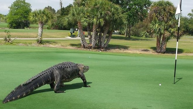 This 12-foot alligator joins the game at the 7th hole at Myakka Pines Golf Club in Florida.