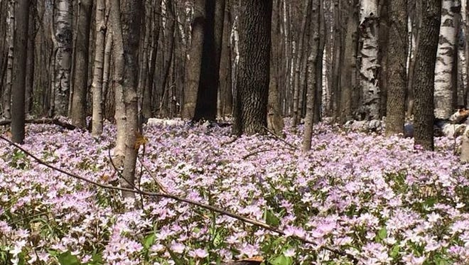 Mayflowers filled the wooded areas at Rib Mountain State Park in May 2014.