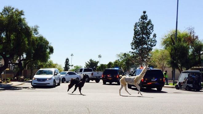 Fred Jones of Sun City snapped this photo of the runaway llamas.