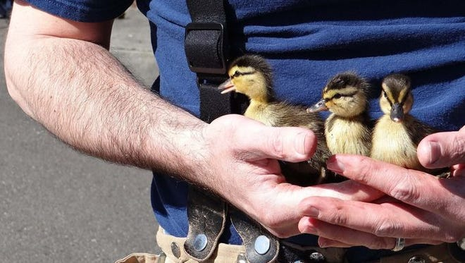 Firefighter rescues ducklings.