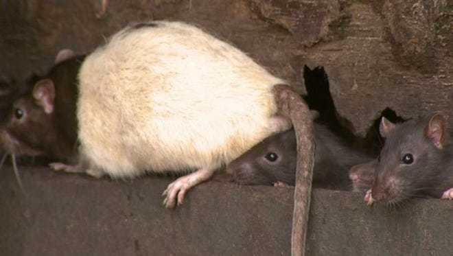 Fruitport Twp. leaders have condemned the site of an animal rescue where housed rats have been blamed for substantial damage.