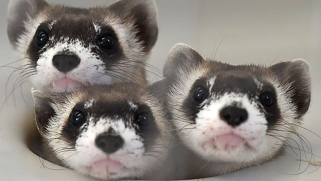 Seventeen black-footed ferrets have joined the group introduced to Soapstone Prairie Natural Area last year.