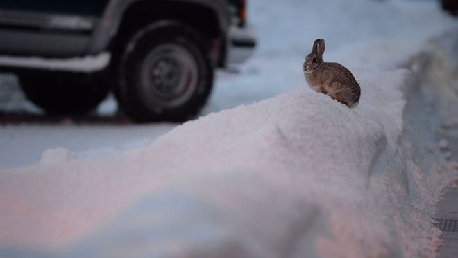 A bunny rests on a pile of snow early Tuesday morning in Old Town Fort Collins.