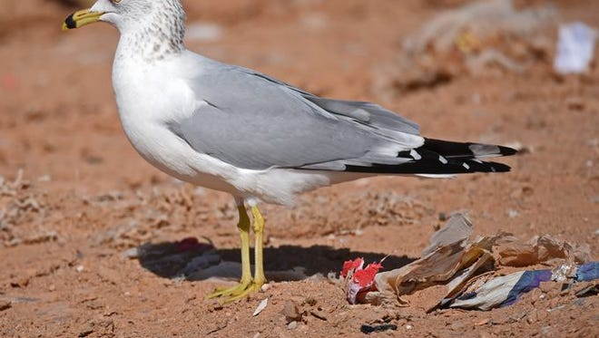 A ring-billed gull stands among trash at the Larimer County Landfill.