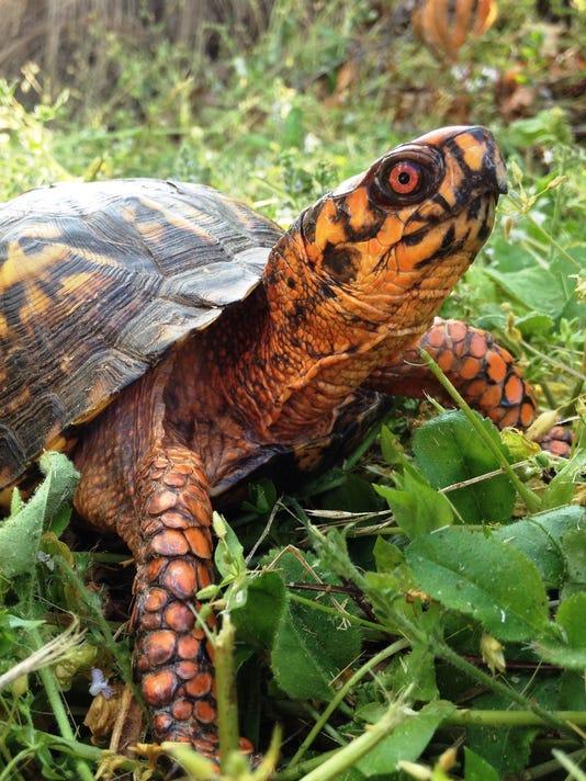 Male Eastern Box Turtle.jpg