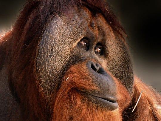 Azy the orangutan, now kept at the Indianapolis Zoo.