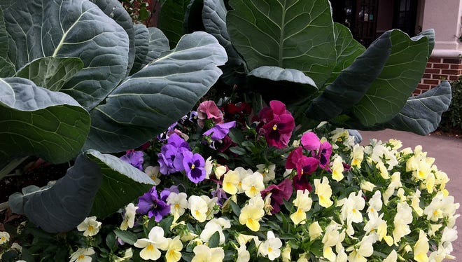Brassicas are ruling in cool season flower beds and containers. Here the old time favorite collards serves as the perfect backdrop for the colorful pansies.