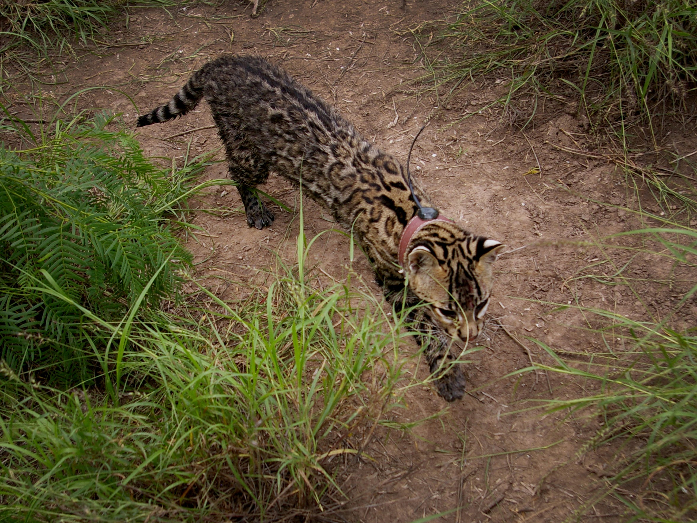 An ocelot released after capture at Laguna Atascosa National Wildlife Refuge in April 2015.