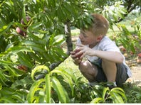 Ryan Sheppard of Wall finds the perfect peach while at Battleview Orchards in Freehold last year.