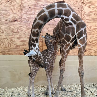 The unnamed baby giraffe is seen here nursing from