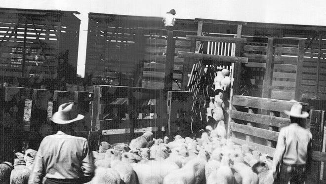 Frank Erramuzpe's sheep are loaded onto boxcars at the Gilbert Corrals