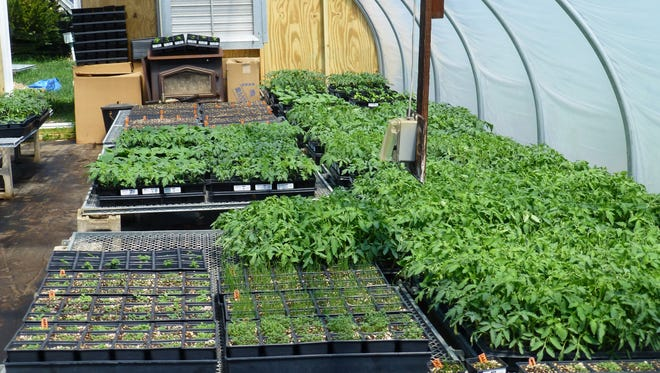 Tomato plants and herbs grow in a greenhouse in the Pinelands.