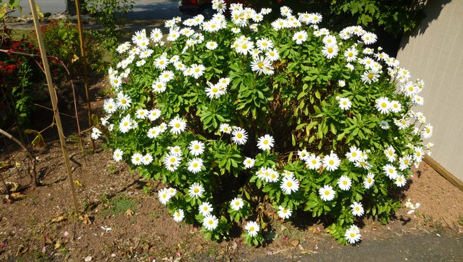 Daisies in front of Barbara Reiger's home.