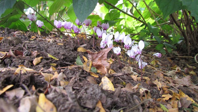 Early fall is the season for the sweet flowers of hardy cyclamen.