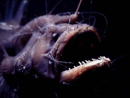 anglerfish-1.jpg