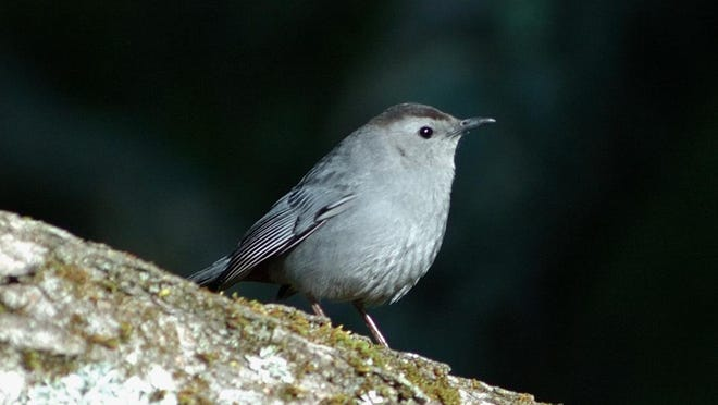 """Gray catbirds are able to copy sounds and calls of other species and merge them together with their """"cat-like mews"""" to make up their own songs."""