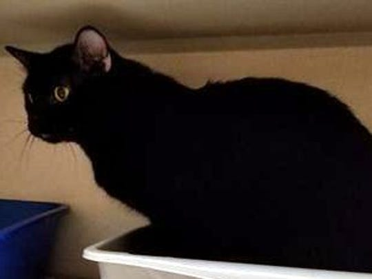 Wallace is a beautiful, young male domestic short hair.