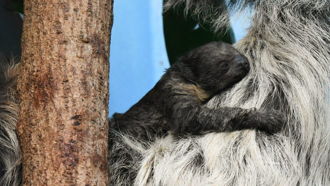 A baby sloth was born at the Denver Zoo on Sunday, Jan. 28, 2018, to Charlotte and Elliot. They are two-toed sloths.