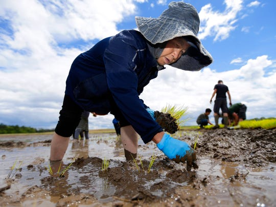 """Pai Lor, a Hmong farmer, plants a rice seedling in this 2017 photo in a 1-acre """"paddy"""" at the former Stauss farm on the Mequon Nature Preserve at 9011 W. Donges Bay Road, Mequon. The goal is to establish cold-weather commercial rice production in Wisconsin."""