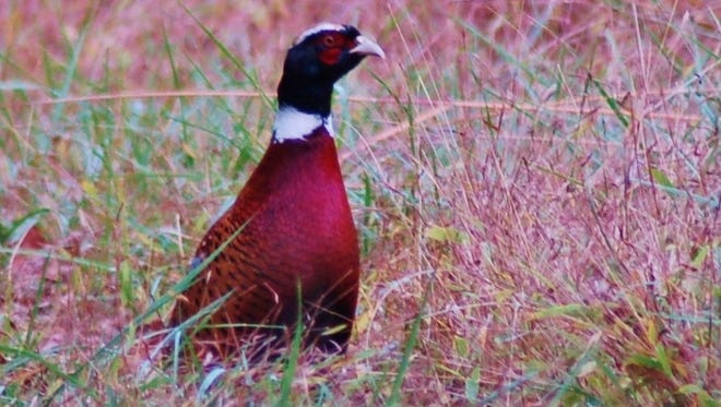 No question, the ring-neck pheasant is a gorgeous bird.