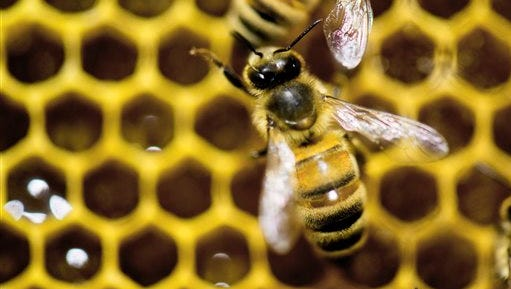 A honeybee explores a hive.   The federal government hopes to reverse America's declining honeybee and monarch butterfly populations by making more federal land bee-friendly, spending more money on research and considering the use of less pesticides.