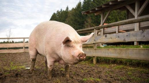 Pigs at the Fowlerville Family Fair were infected with swine flu, Livingston County Health Department officials warned Saturday. No human illnesses were reported as of Saturday afternoon.