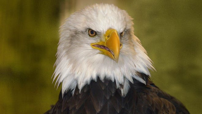 The Bull Shoals-White River State Park will hols its annual 'Eagle Awareness' even this Friday and Saturday.