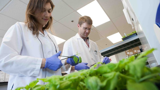 Lab intern Yasemin Van Heuvel, left, and scientist Stephen Tottey trim a variety tobacco that is used to make vaccines and therapeutics at the Fraunhofer USA Center for Molecular Biotechnology.