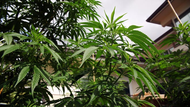 Plants grow at the home of Jeremy Nickle, in his backyard in Honolulu, Hawaii., on Wednesday, Feb. 17, 2016. Nickel, who owns Hawaiian Holy Smokes and is applying for a dispensary, grows a variety of strains and has a medical marijuana card. (AP Photo/Marina Riker)