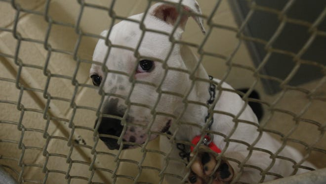 A pit bull mix photographed inside of a kennel at the SPCA of Cincinnati Northside.