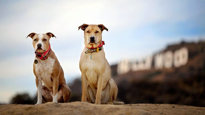 """This December, 2013 photo provided by pet photographer Lori Fusaro shows her """"clients,"""" Chevy and Chase, in front of the Hollywood Sign in Los Angeles. Fusaro is set to publish a book called """"My Old Dog"""" in the spring of 2015. She's shot thousands of photos for Los Angeles Animal Services, which puts old (and young) dogs on their website in hopes they will attract exactly the right owner."""