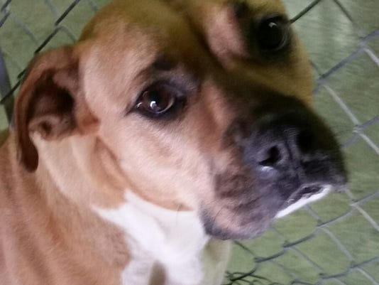 Boxer Pet of the Week