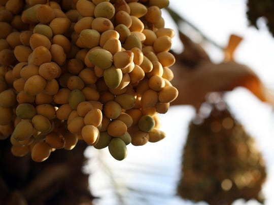 Barhi dates unsheathed from a paper covering are seen in August 2011 before being harvested in Thermal, Calif. The dates are more sensitive than other varieties like medjools.