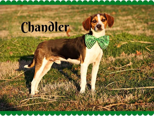 This is Chandler! What a spunky, cool, smart, little guy he is. He's getting ready to graduate soon from Kentucky State Penitentiary, with a basic obedience degree. He's looking for a fun active family to spend forever with. To apply for Chandler, contact the Mary Hall Ruddiman Canine Shelter.