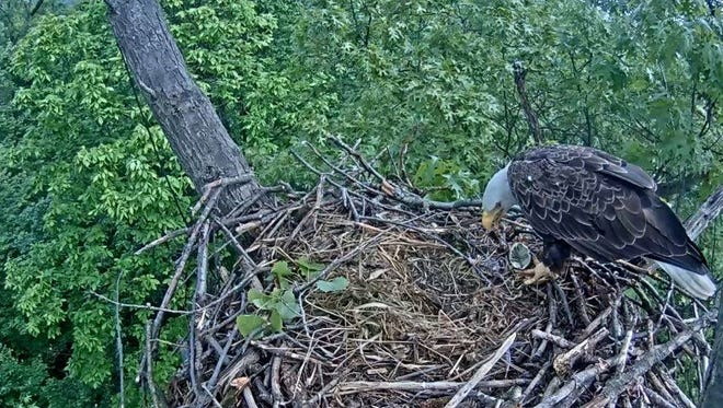 An eagle eats its own egg in late May in a nest near Codorus State Park. The Pennsylvania Game Commission, which hosts the livestream of the nest, deemed the egg not viable in March.