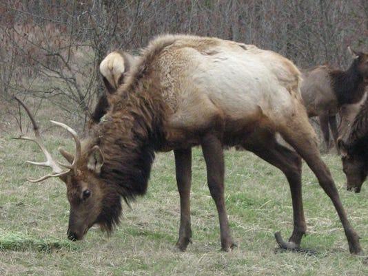 Elk hoof disease