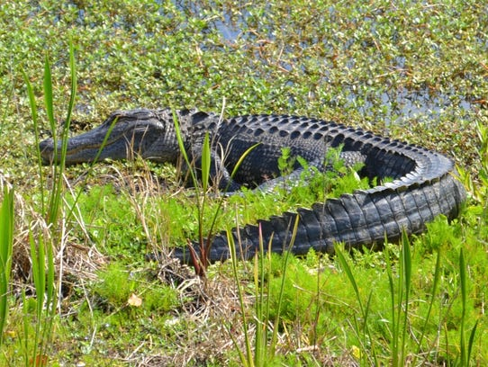 A large alligator that was found in Hardee Park in Sebastian, Florida. He was over five feet long.