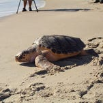 Sea turtle's long rehab journey ends with release at Assateague