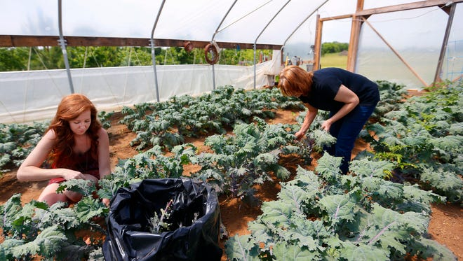 Doris Johnson (right) and her daughter-in-law, Laura Greene-Johnson, harvest kale in their high tunnel on Monday, May 23, 2016. The pair own Sneaky Greens, a local spice blend company that marries things like salt, peppercorns and Italian seasoning with preserved mustard greens and kale.