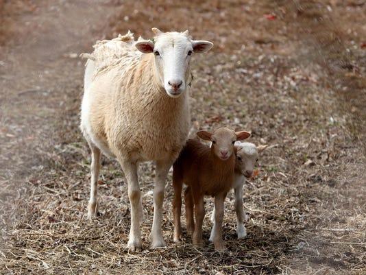 IMG_-two_little_lambs.jp_1_1_A5A6LJFH.jpg_20150312.jpg