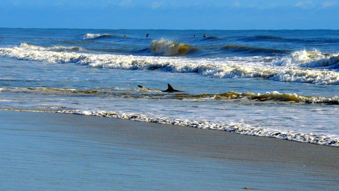 A shark is shown in about two feet of water in the 5300 block of South Atlantic Avenue in New Smyrna Beach in this file photo.