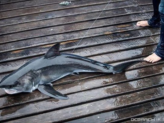 Bruin, a juvenile male white shark on board the OCEARCH